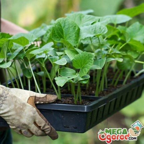 Выращивание рассады и ее пересадка в грунт