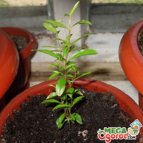Выращивание комнатного граната из черенков