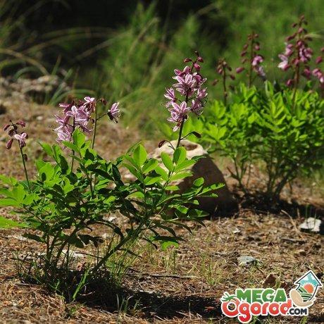 Ясенец (неопалимая купина): описание, агротехника и свойства растения
