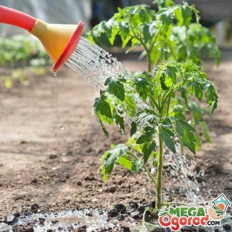 Рекомендации по уходу за помидорами