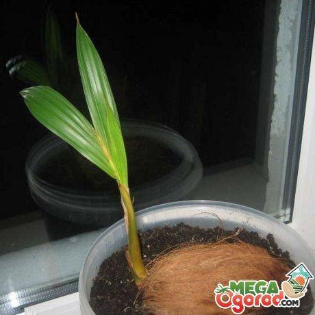 Сроки и правила посадки кокосовой пальмы