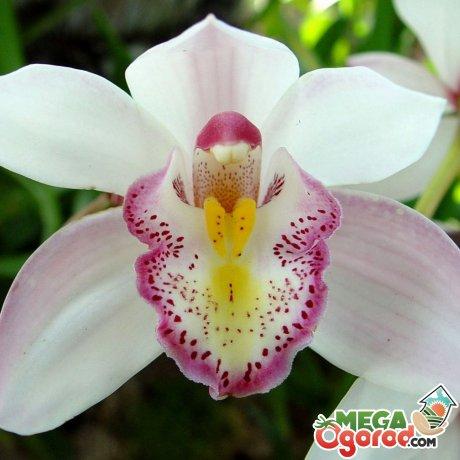 Лучшие сорта орхидеи