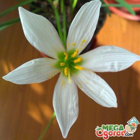 Зефирантес и его выращивание