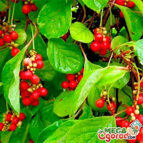 Полезные свойства растения