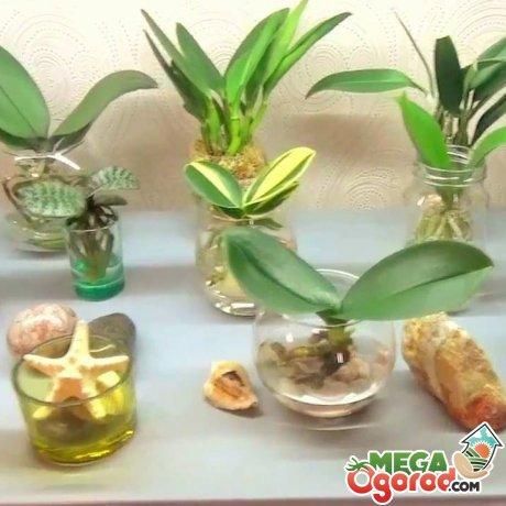 Уход за орхидеей в воде