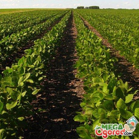 Технология выращивания сои