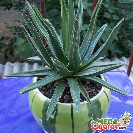 В каком виде употребляется растение