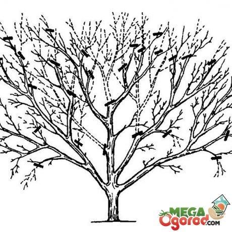 Как сформировать крону вишни