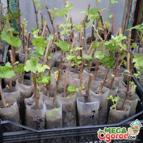 Черенкование винограда в полиэтиленовых пакетах