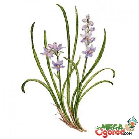 Лекарственные свойства растения
