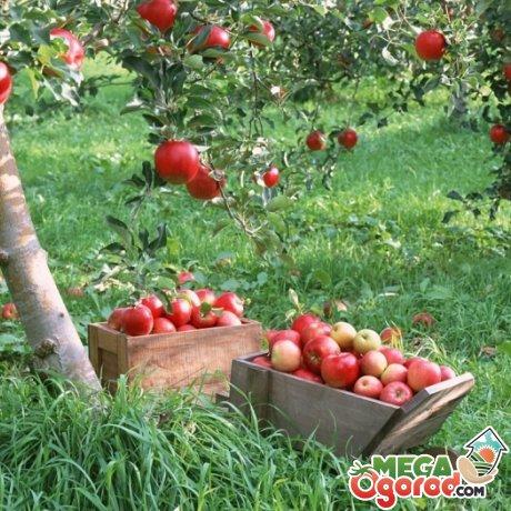 Посадка яблонь на участке