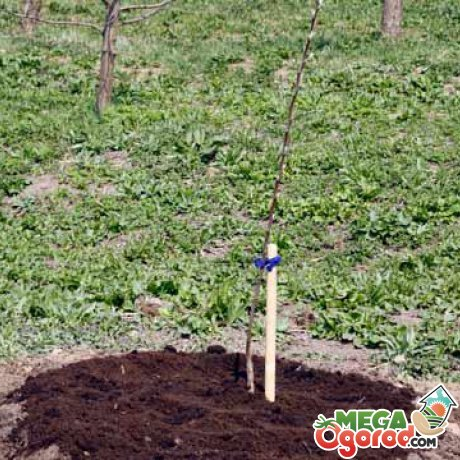 Высадка вишни