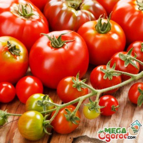 Секреты выращивания помидоров в Голландии