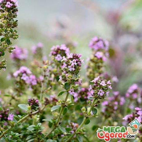 Чабрец выращивание из семян и 2