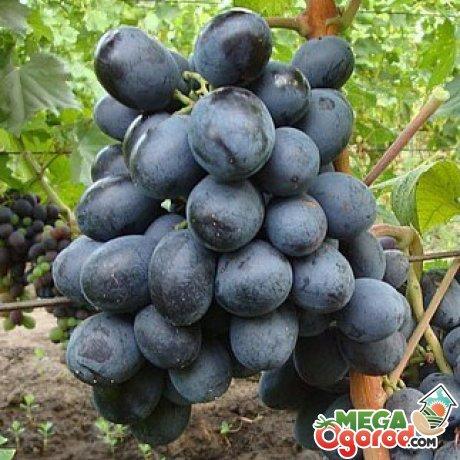 Применение винограда сорта Загорулько