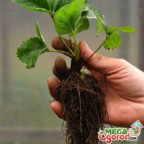Как подготовить участок и клубнику к высаживанию