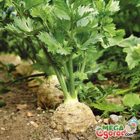 Маленькие хитрости в выращивании корневого сельдерея