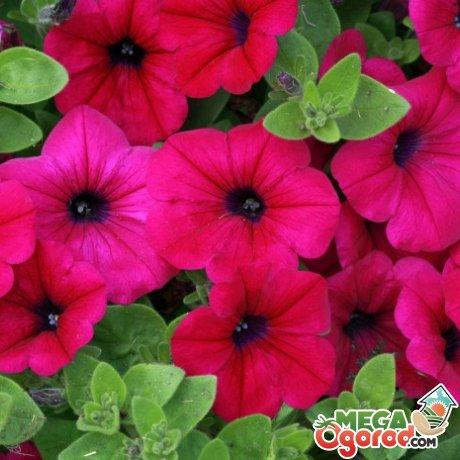 Секреты обильно роста и цветения петуний