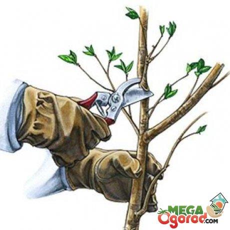 Обрезка молодых и старых деревьев