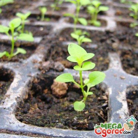 Выращивание с помощью рассады
