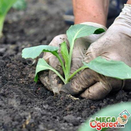 Уход за рассадой капусты атрия