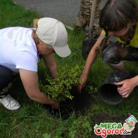 Правила посадки куста винограда