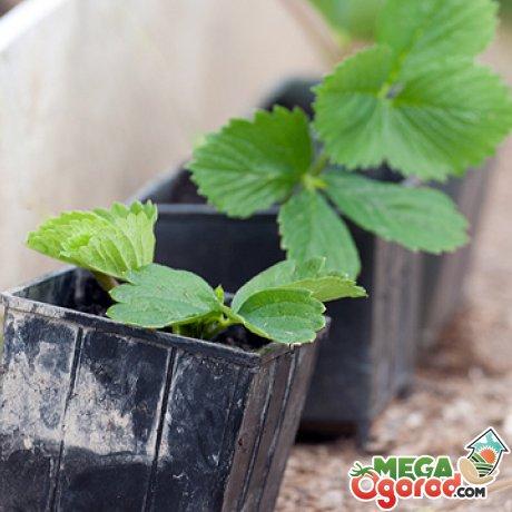 Когда сажать клубнику семенами: подготовка семян ...