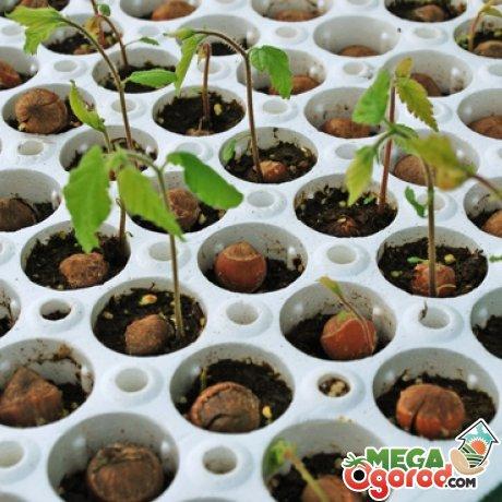 Посадить фундук в домашних условиях