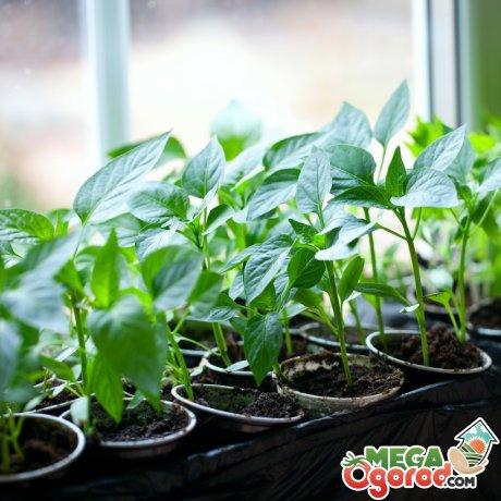 Плюсы выращивания рассады на подоконнике