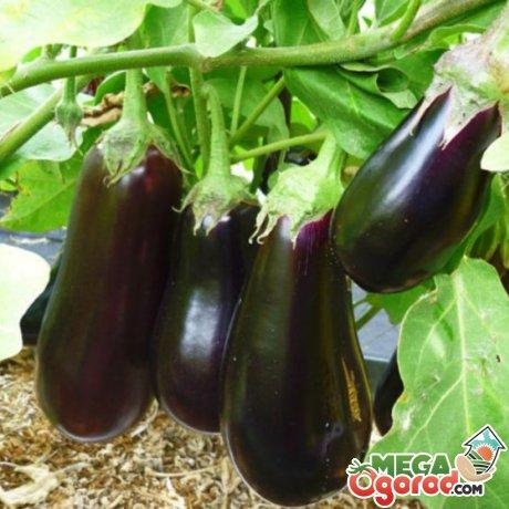 Способы выращивания баклажан