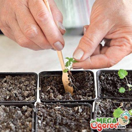 Выращивание рассады и пересадка в открытый грунт