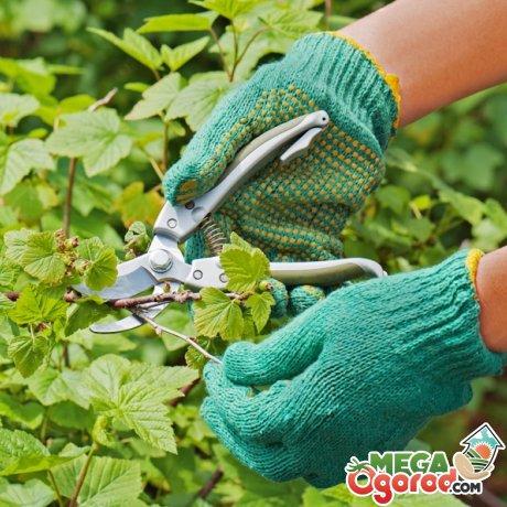 Смородина альпийская: правила выращивания декоративного кустарника и применение в саду
