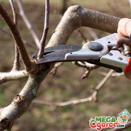 Правильная обрезка - залог хорошего урожая