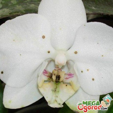 Наиболее частые заболевания орхидей