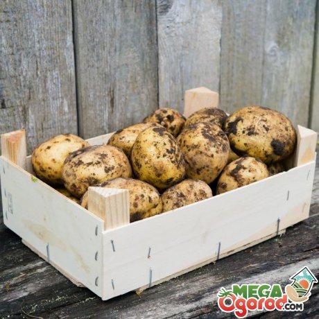 Почему не удается сохранить картофель в зимний период