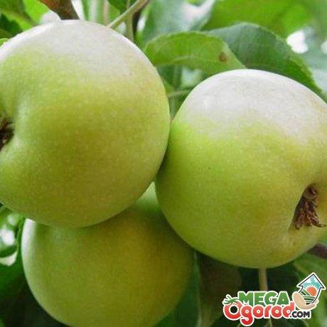 Карликовые сорта зеленых яблок