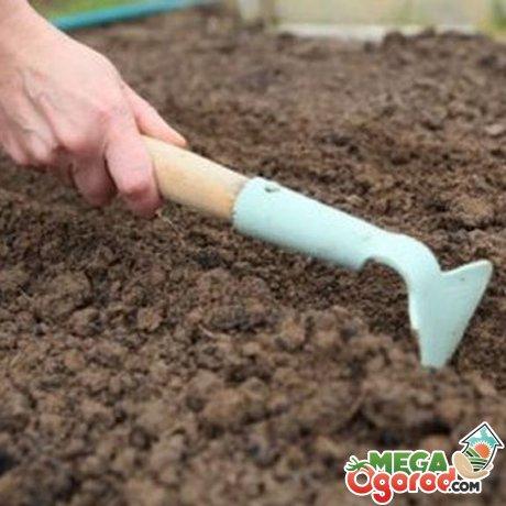 Высадка семян сосны в открытый грунт