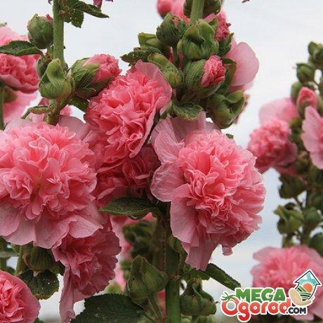 Шток розы – высокорослые многолетние цветы