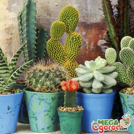Лучшие сорта кактусов для выращивания