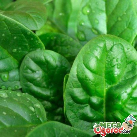 Выращивание шпината
