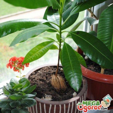 Советы по уходу за тропическим деревцем