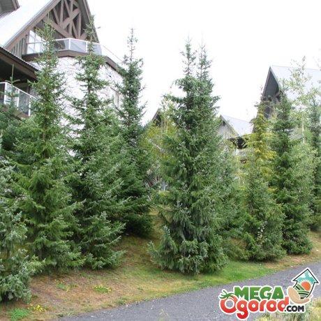 Условия для выращивания хвойного дерева