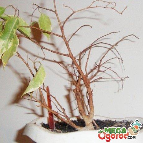 Как помочь дереву, если все-таки листья опали?