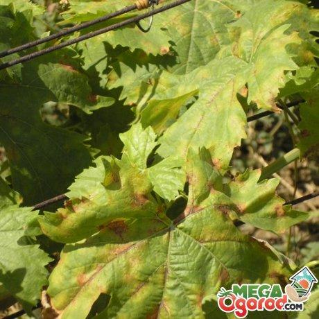 Болезни винограда их признаки и борьба