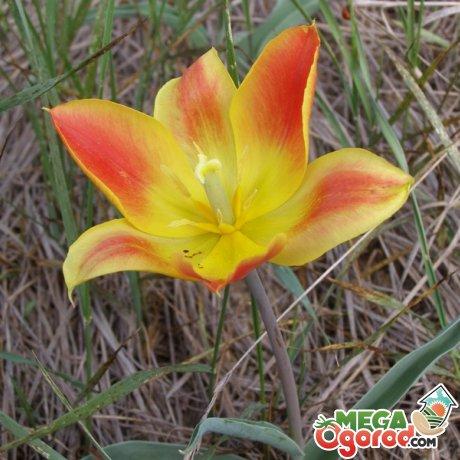 цикл роста тюльпана шренка и условия цветения