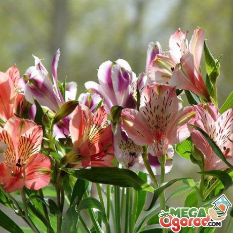 Альстромерия выращивание из семян 678