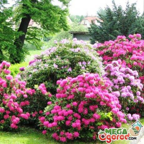 Как выбрать цветущий кустарник для приусадебного участка