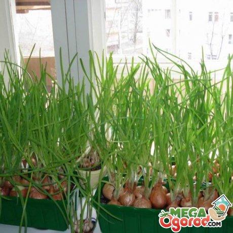Выращивание зеленого лука дома