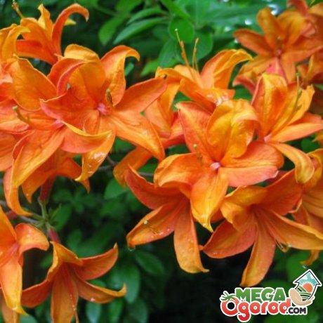 Виды и сорта азалии садовой