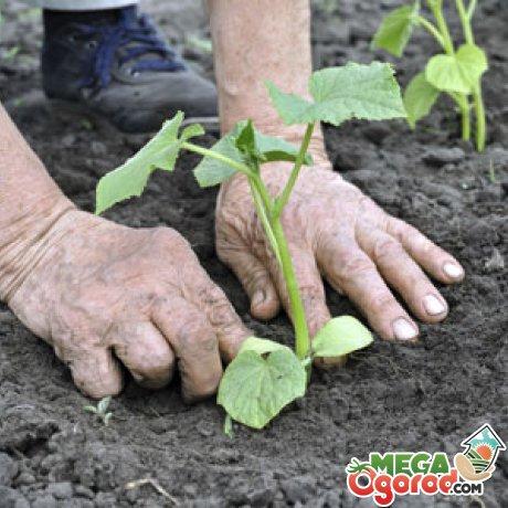 Выращивание на грядах